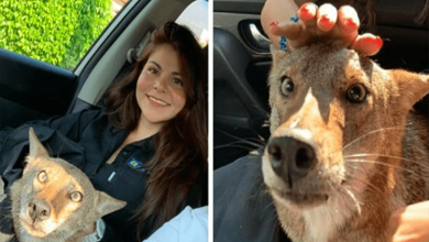Photo of Woman Rescues 'Injured Dog' That Was Hit By A Car, Finds Out It's A Wild Coyote