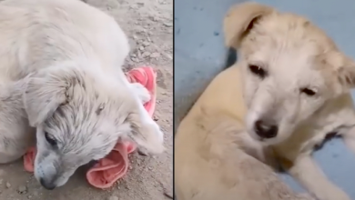 Photo of Puppy With Brain-Damage, Curled Up To Hide, Couldn't Lift His Head To Thank Rescuer